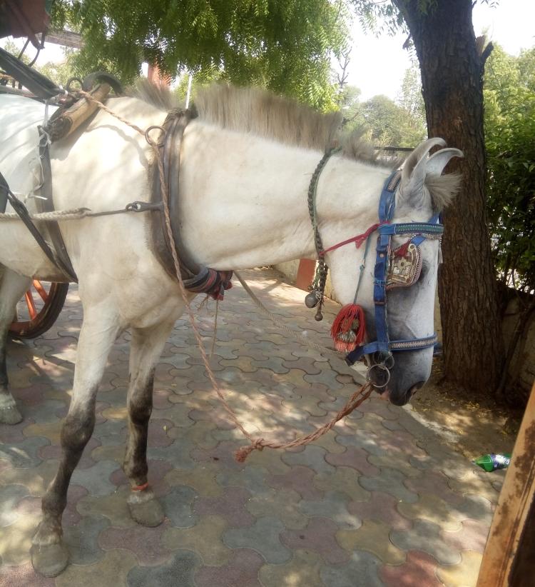 [Image Description- Dilip Kumar, The Horse]